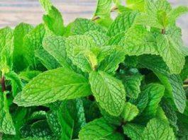 Benefits of Mint Leaves-পুদিনা পাতা উপকার